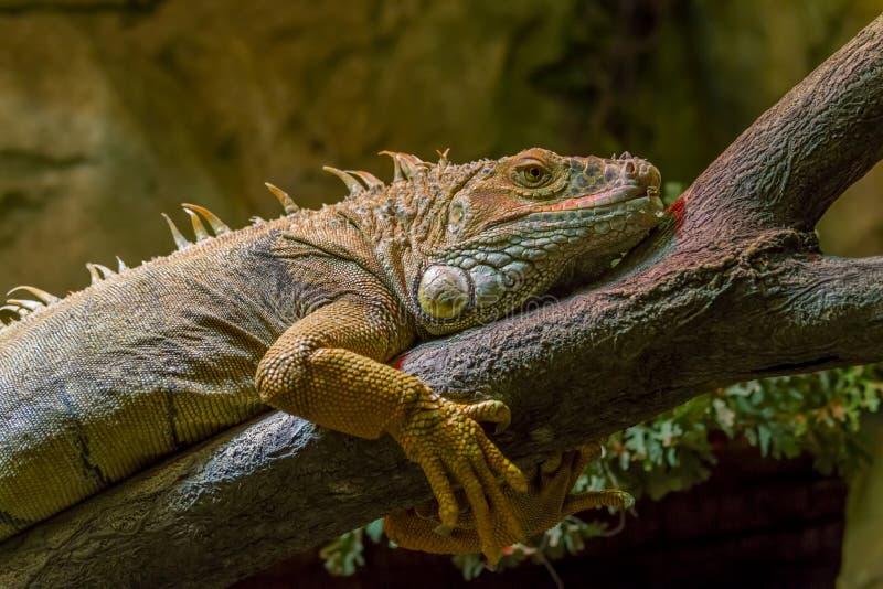 Grande iguana sull'albero fotografia stock