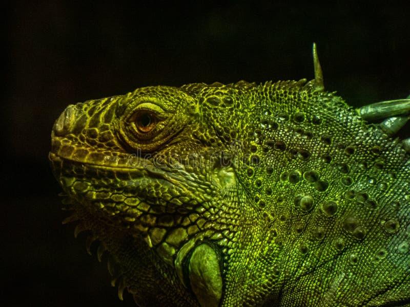 Grande iguana verde con le ombre sulla sua pelle fotografie stock libere da diritti