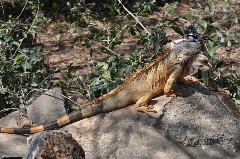 Grande iguana verde que expõe-se ao sol em uma rocha fotos de stock royalty free