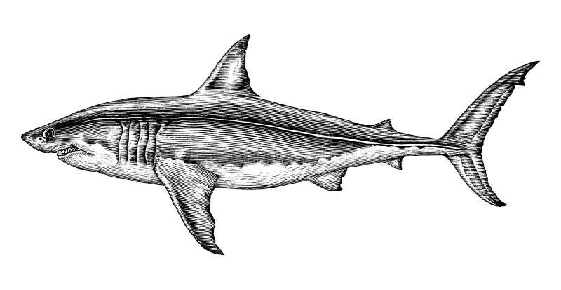 Grande illustrazione d'annata dell'incisione del disegno della mano dello squalo bianco illustrazione vettoriale