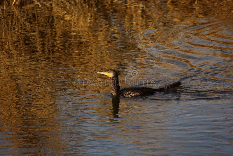 Grande immersione subacquea nera del cormorano per il pesce nel delta di Danubio fotografia stock libera da diritti