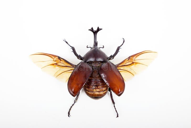 Grande insetto dello scarabeo del corno isolato su bianco fotografia stock