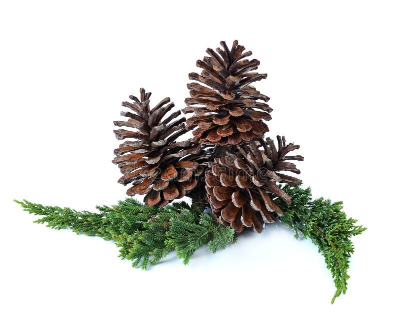 Grande insieme di varie conifere dei coni isolate su bianco immagine stock libera da diritti