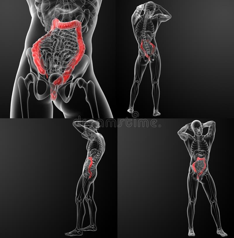 grande intestino de sistema digestivo ilustração royalty free