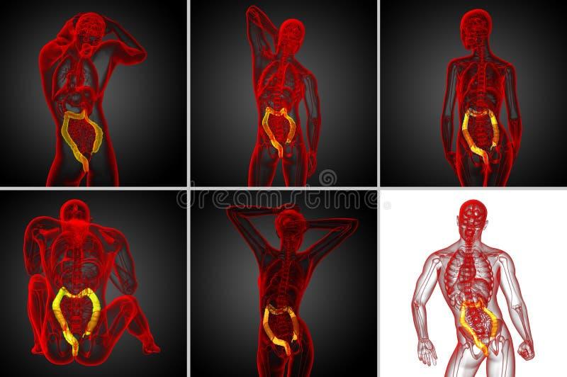 grande intestino de sistema digestivo ilustração stock