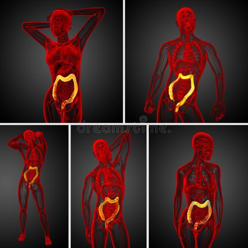 Grande intestino humano de sistema digestivo ilustração do vetor