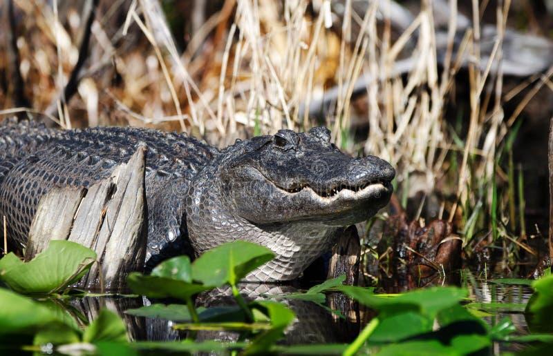 Grande jacaré americano deitado no pântano mostrando dentes fotografia de stock