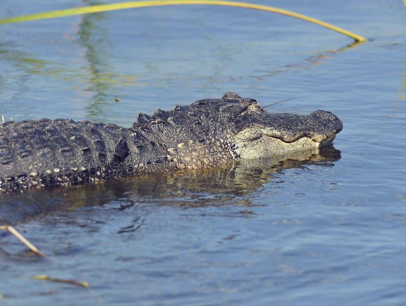 Grande jacaré de Florida fotografia de stock royalty free
