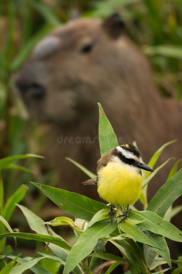 Grande kiskadee com cabeça do capybara atrás fotografia de stock royalty free