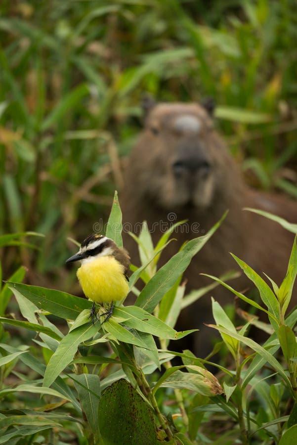 Grande kiskadee com o capybara que olha de atrás foto de stock royalty free