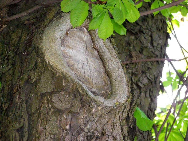 Grande knag sull'albero immagine stock libera da diritti