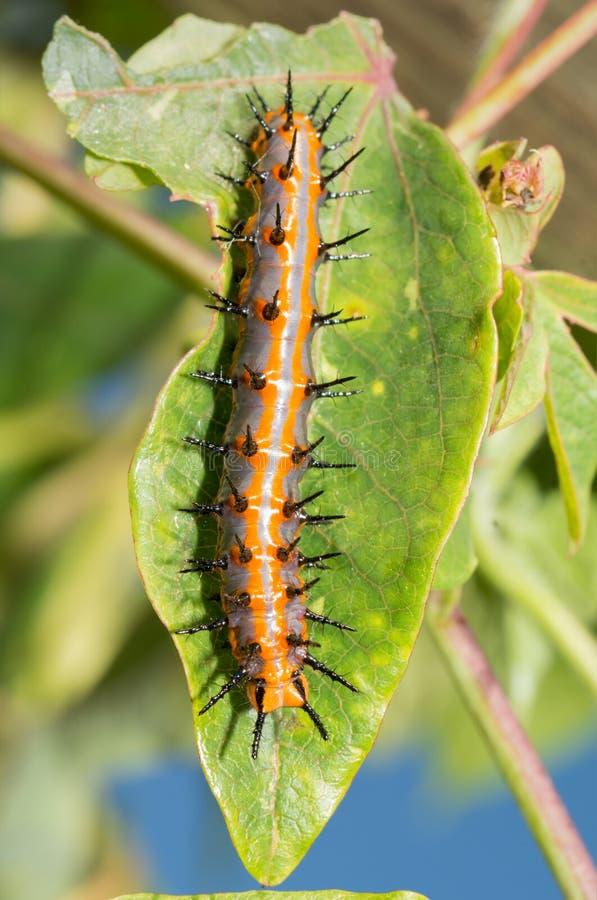 Grande lagarta alaranjada e cinzenta da borboleta do Fritillary do golfo imagens de stock