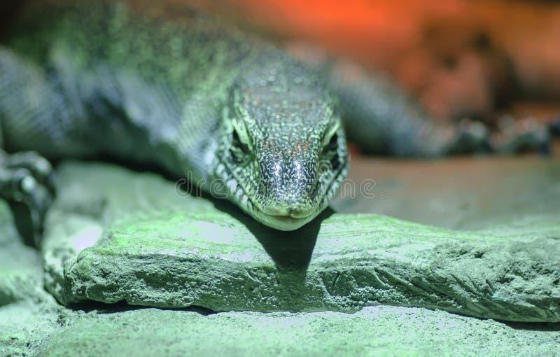 Grande lagarto da foto macro fotografia de stock