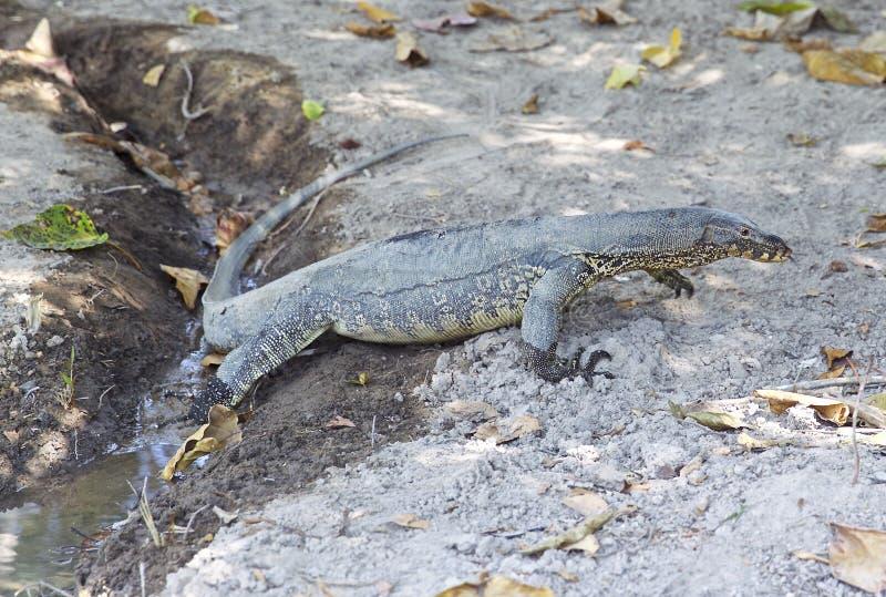 Grande lagarto na ilha de Koh Racha fotos de stock