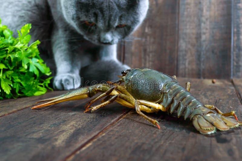 A grande lagosta recua na tabela de madeira, o gato cinzento olha-o com cuidado imagens de stock royalty free