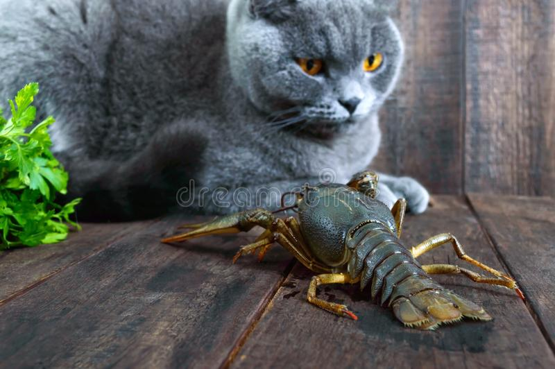 A grande lagosta recua na tabela de madeira, o gato cinzento olha-o com cuidado fotos de stock royalty free