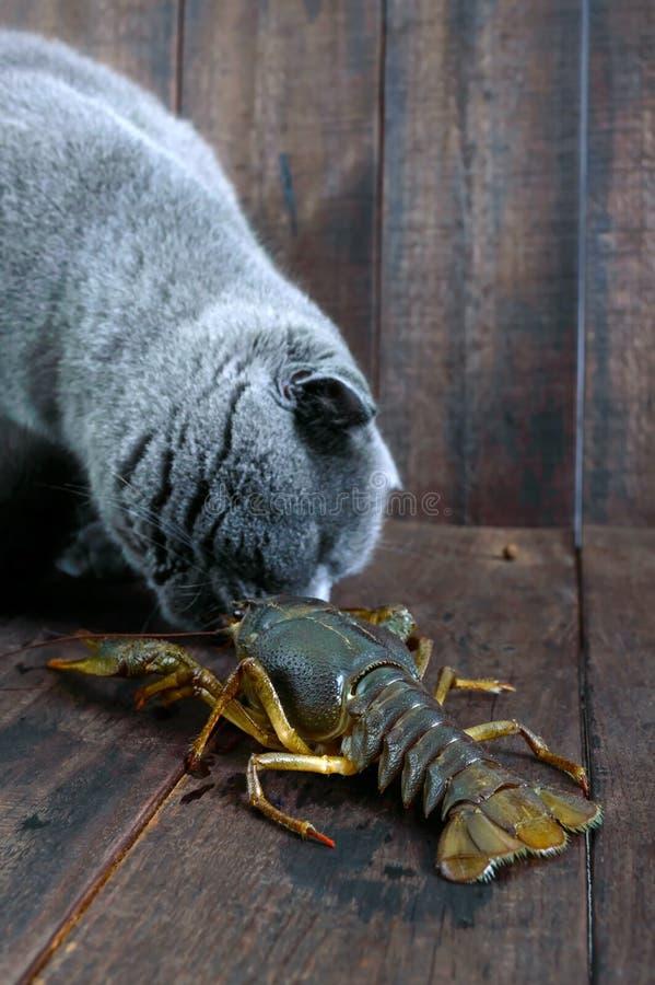 A grande lagosta recua na tabela de madeira, o gato cinzento olha-o com cuidado, quer comer a rapina fotografia de stock