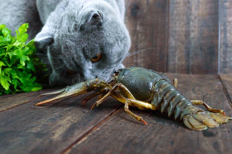 A grande lagosta recua na tabela de madeira, o gato cinzento olha-o com cuidado, quer comer a rapina imagens de stock