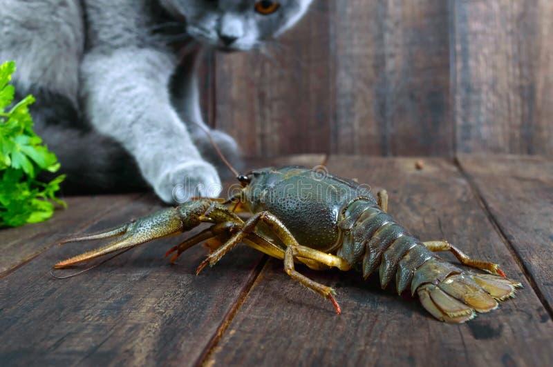 A grande lagosta recua na tabela de madeira, o gato cinzento olha-o com cuidado, quer comer a rapina fotos de stock