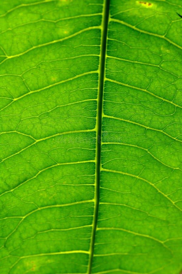 Grande lame verte image libre de droits