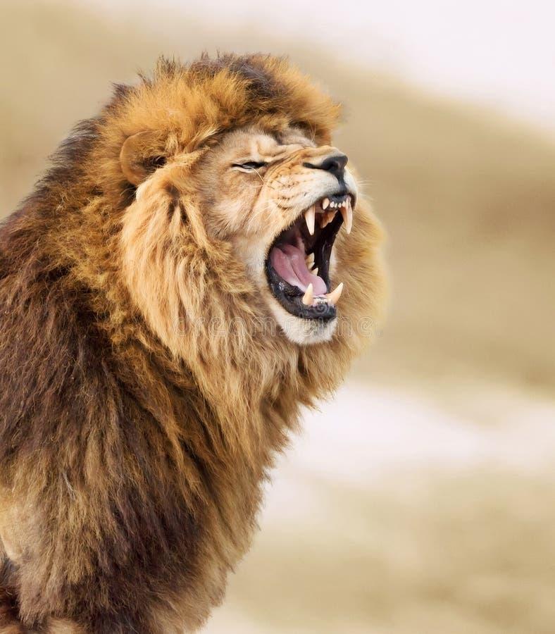 Grande leão imagem de stock royalty free