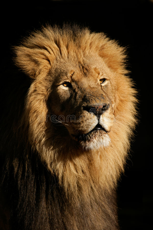 Grande leone africano maschio fotografia stock