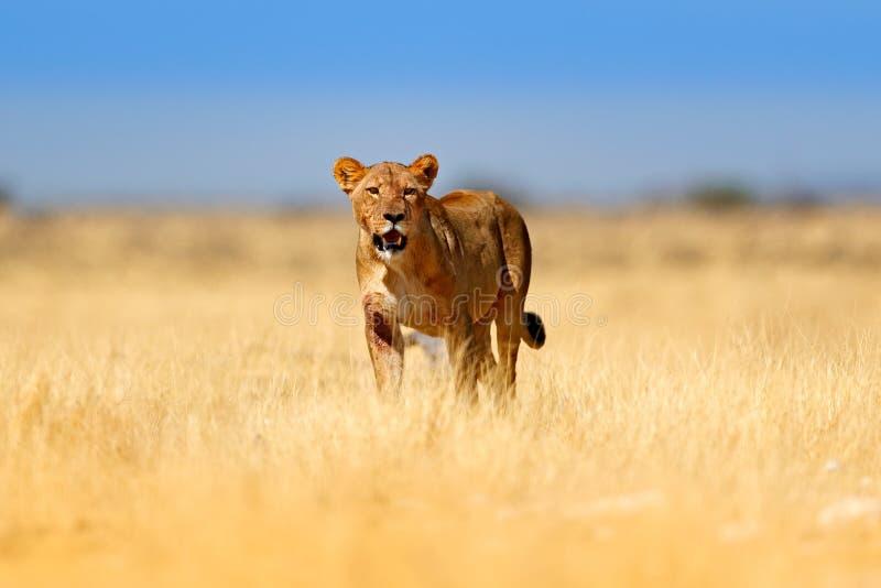Grande leone femminile arrabbiato in Etosha NP, Namibia Leone africano che cammina nell'erba, con bella luce uguagliante Scena de fotografia stock