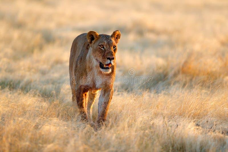 Grande leone femminile arrabbiato in Etosha NP, Namibia Leone africano che cammina nell'erba, con bella luce uguagliante Scena de immagini stock