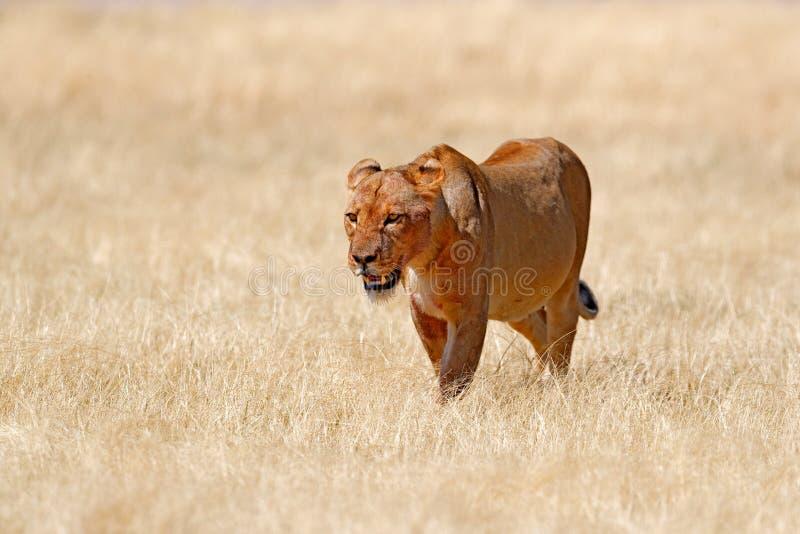 Grande leone femminile arrabbiato in Etosha NP, Namibia Leone africano che cammina nell'erba, con bella luce uguagliante Scena de fotografie stock