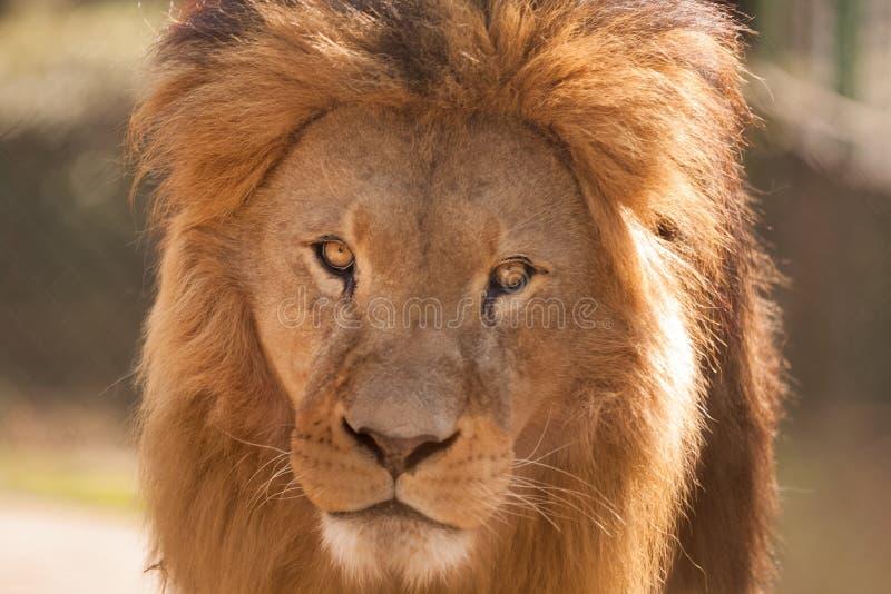 Grande leone maschio immagine stock