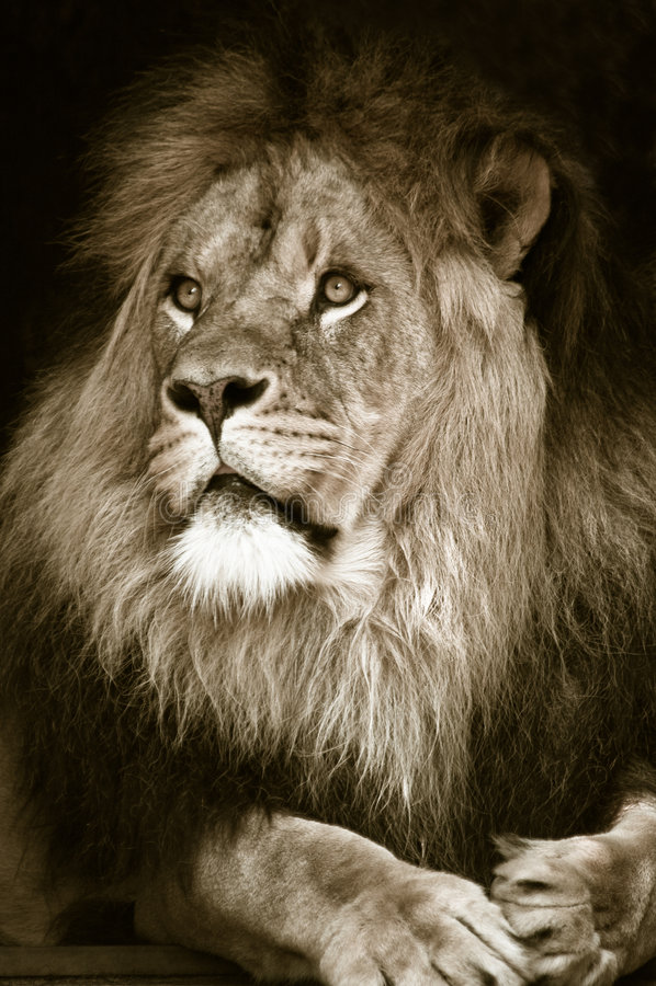 Grande leone maschio africano fotografia stock libera da diritti