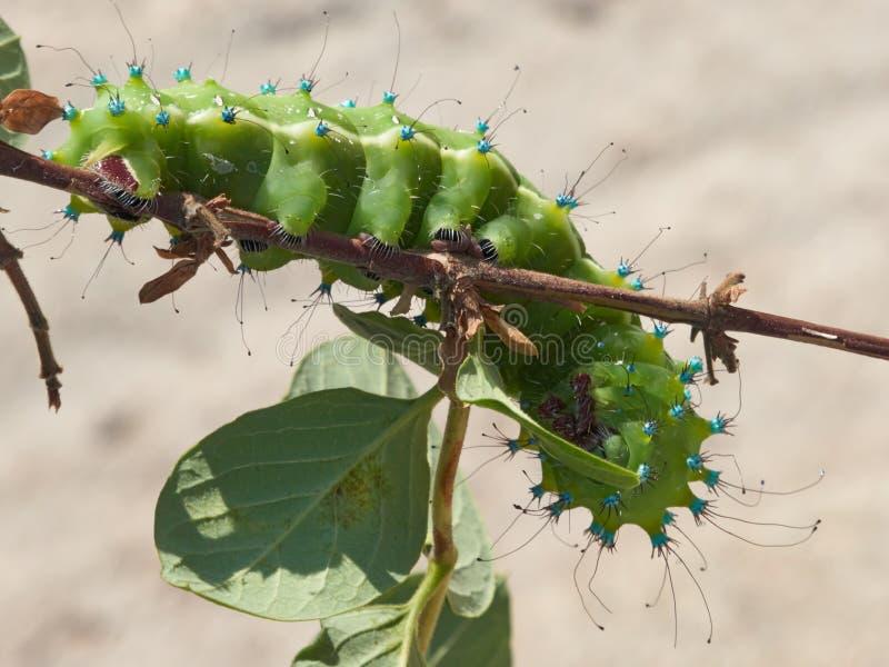 Grande lepidottero Caterpillar del pavone fotografia stock libera da diritti