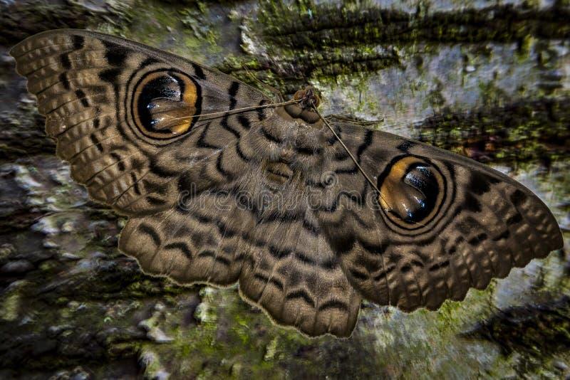 Grande lepidottero del gufo fotografia stock