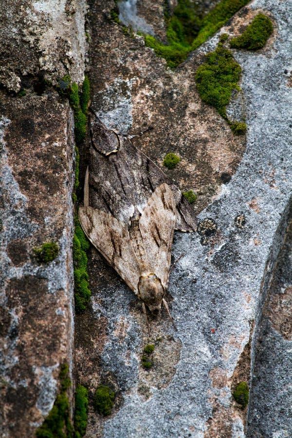 Grande lepidottero marrone su una parete di decomposizione di vecchio buidling fotografia stock