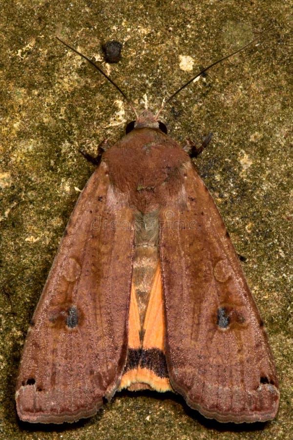 Grande lepidottero underwing giallo (pronuba del Noctua) fotografia stock