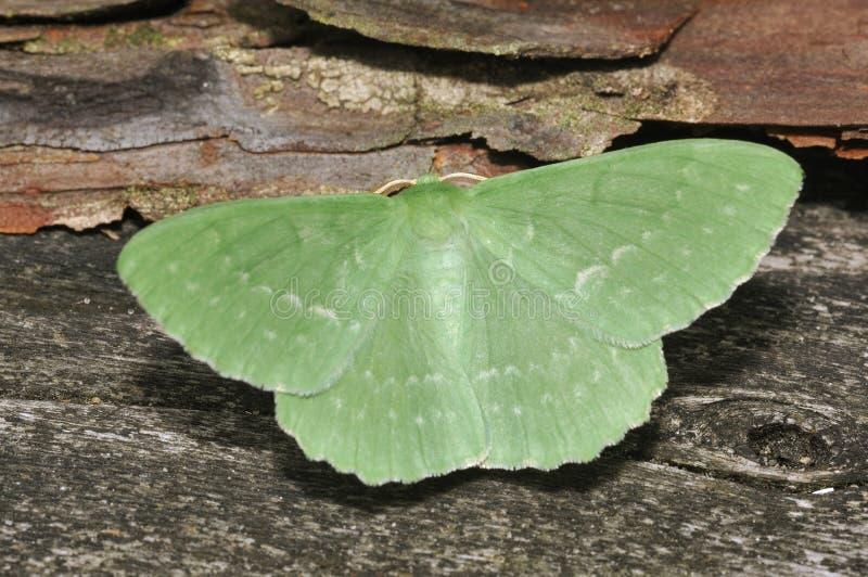 Grande lepidottero verde smeraldo immagini stock