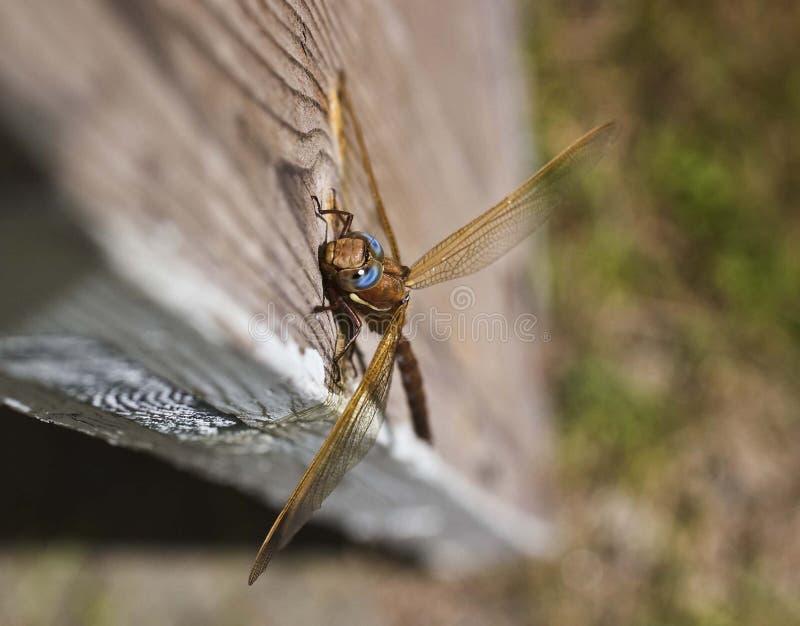 Grande libellula sulla vecchia porta del garage fotografie stock