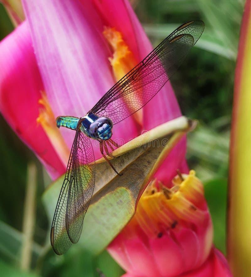 Grande libellule bleue et verte montrant ses ailes et se tenant sur la feuille sèche d'une belle fleur rouge, rose et jaune photo libre de droits