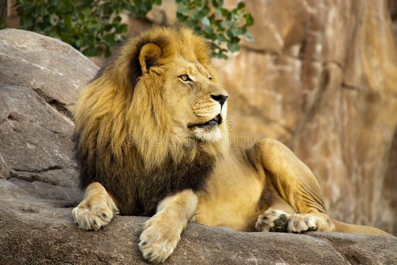 Grande Lion Rests On Tall Boulder poderoso no por do sol fotografia de stock royalty free