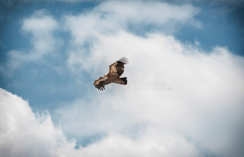 Grande livello di volo dell'avvoltoio dell'uccello nel cielo fotografie stock