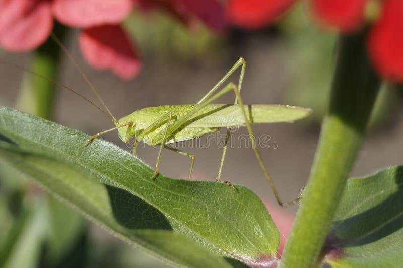 Grande locusta verde dell'insetto che si siede su una foglia di un fiore nel giardino fotografie stock libere da diritti