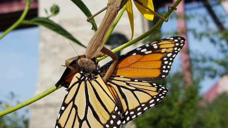 Grande louva-a-deus bronzeado e verde que come uma borboleta de monarca Ca imagens de stock royalty free
