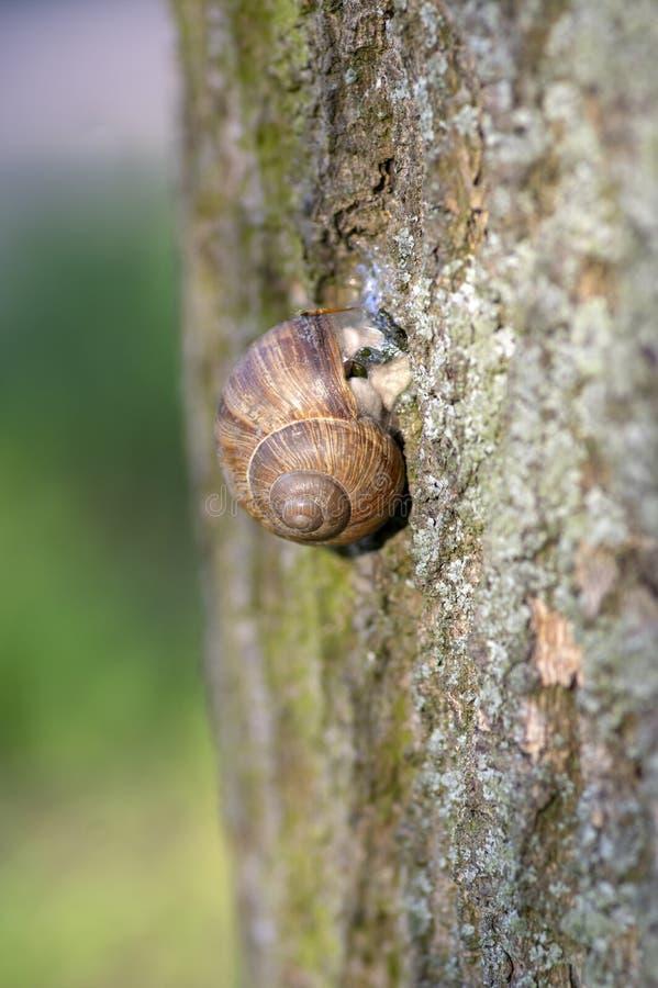 Grande lumaca di terra di helix pomatia sulla corteccia di albero, coperture marroni con l'interno animale di rilassamento fotografia stock libera da diritti