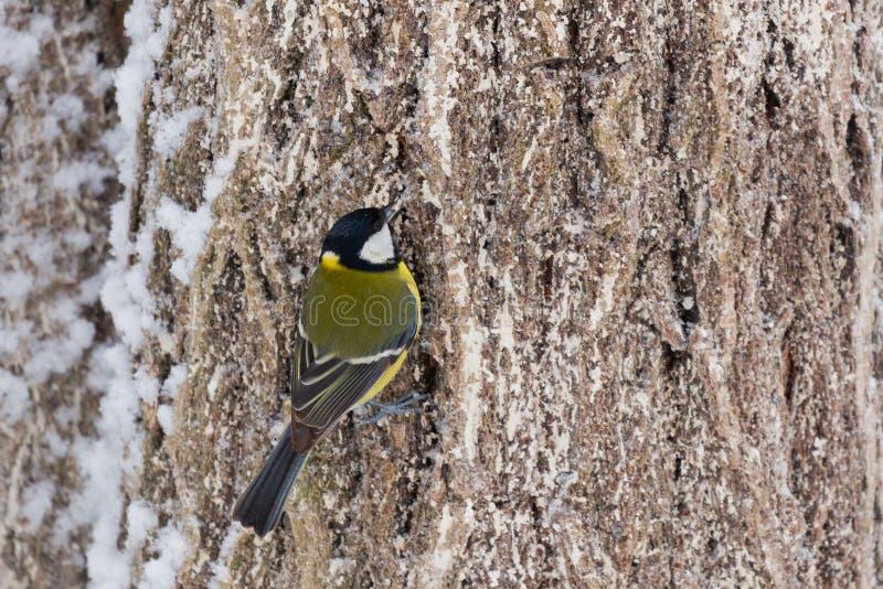 Grande mésange de beau petit oiseau ou oiseau principal de Parus se reposant sur la branche d'arbre couverte par neige en hiver photographie stock