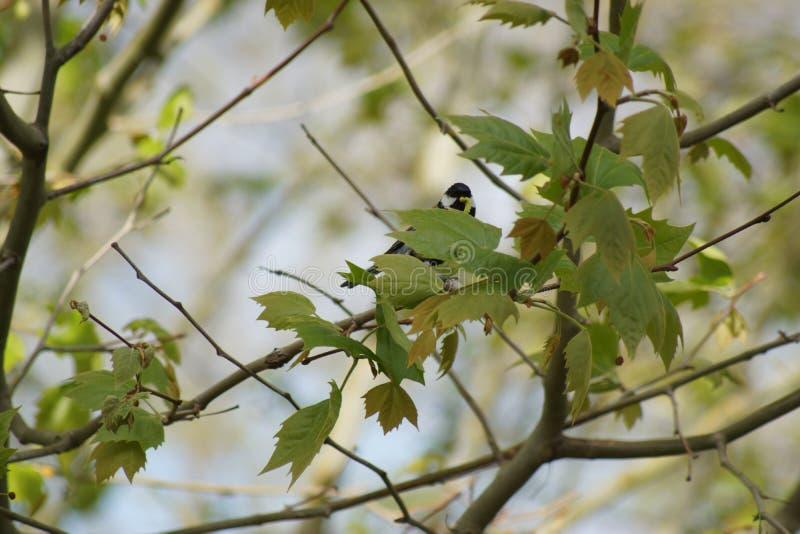 Grande mésange sur une branche qui fait face france image stock