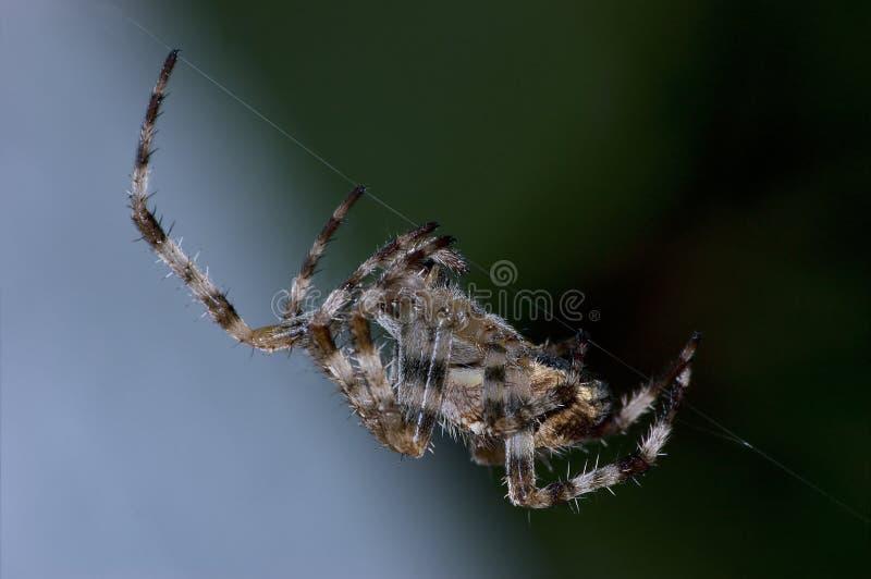 Grande macro da aranha da esfera do jardim imagens de stock royalty free