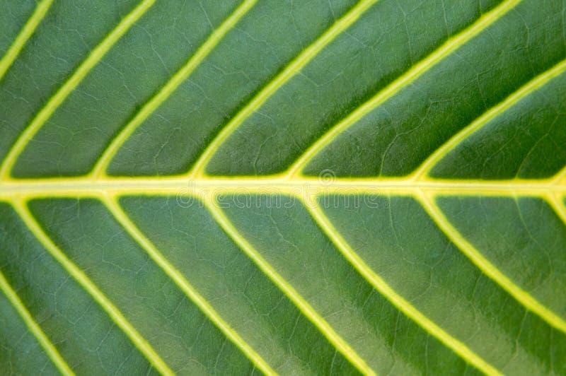 Grande macro del foglio della pianta verde fotografie stock