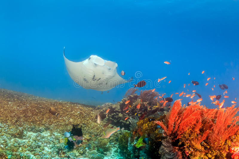 Grande Manta Ray em Coral Reef foto de stock royalty free