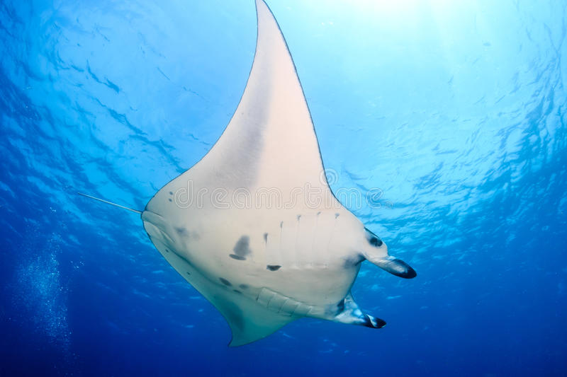 Grande Manta Ray em Coral Reef fotos de stock royalty free