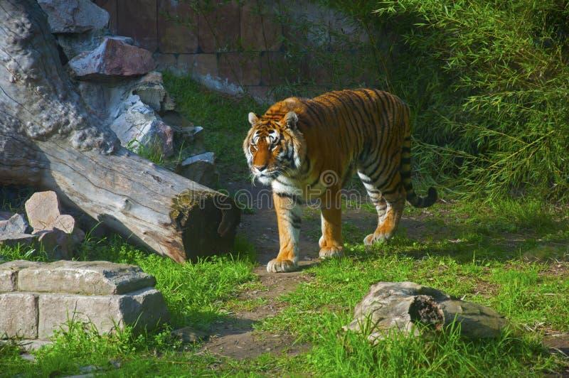Grande marche de tigre, fond vert avec des briques et bois sec image stock